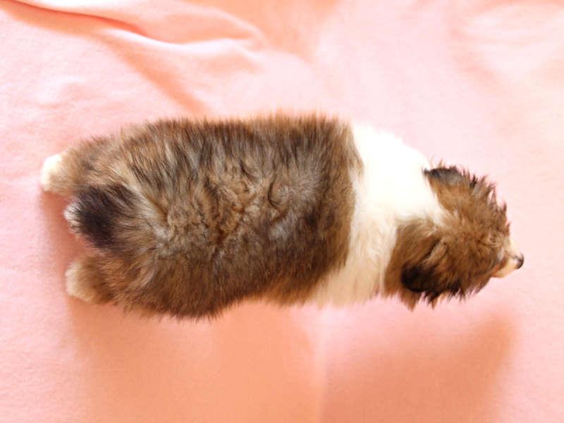 シェットランドシープドッグ(シェルティー)子犬販売情報、背中、ID11415
