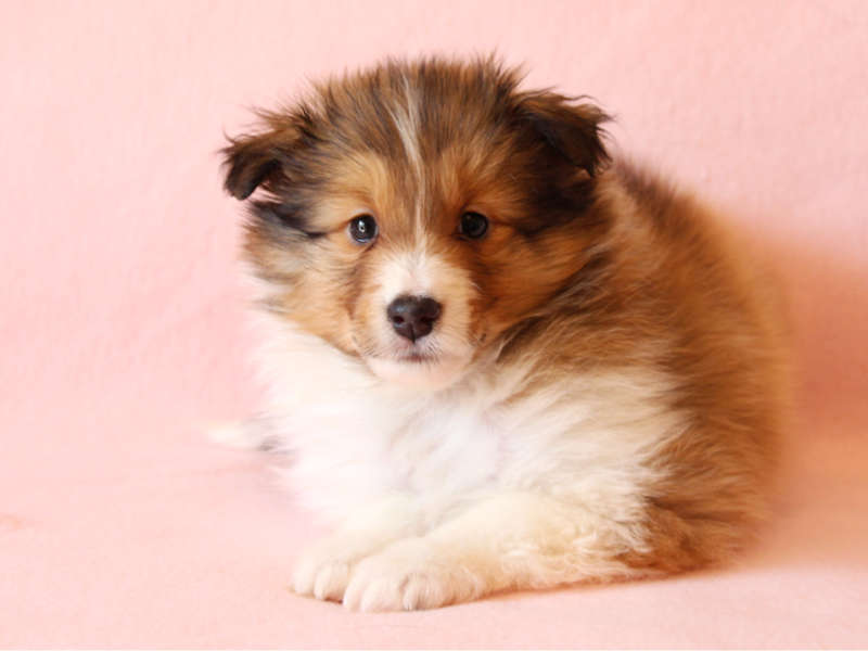 シェットランドシープドッグ(シェルティー)子犬販売情報、正面、ふせ、ID11416