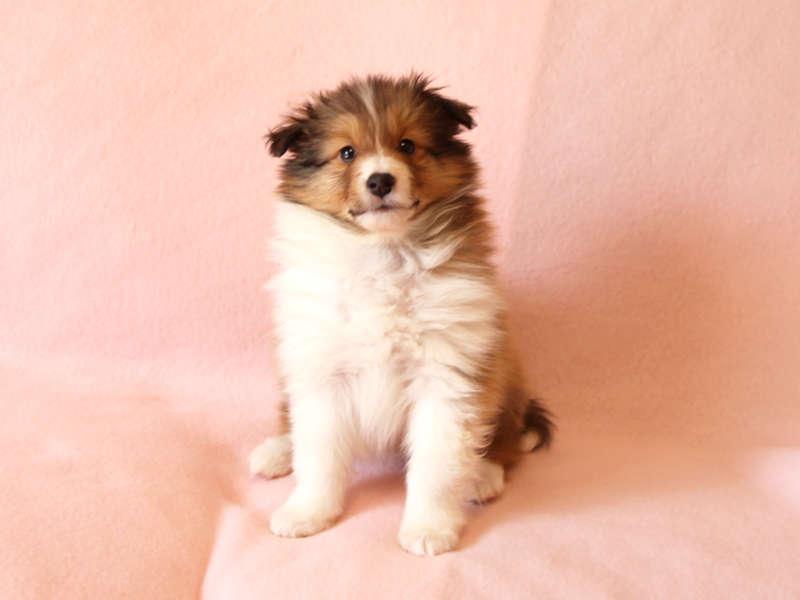 シェットランドシープドッグ(シェルティー)子犬販売情報、正面、おすわり、ID11416