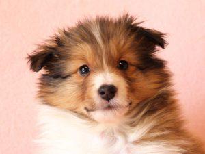シェットランドシープドッグ(シェルティー)子犬販売情報、お顔、ID11416