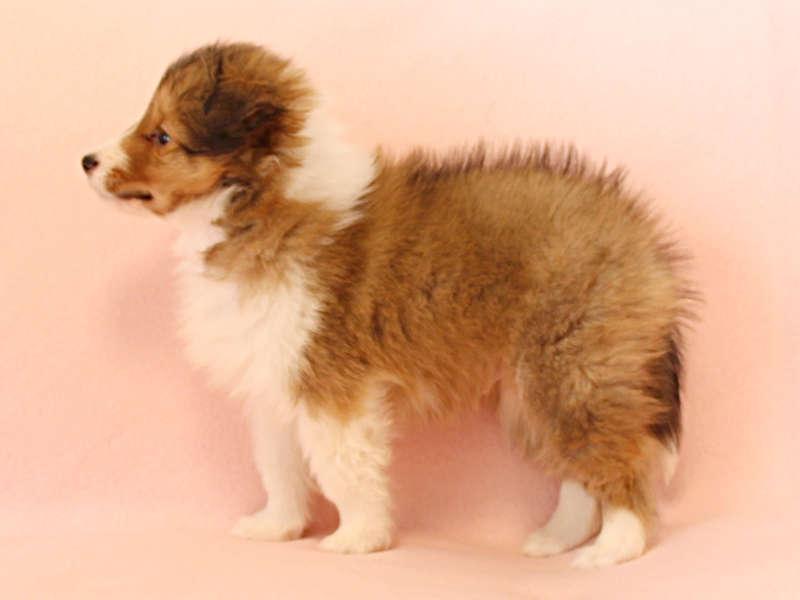 シェットランドシープドッグ(シェルティー)子犬販売情報、左側面、ID11416
