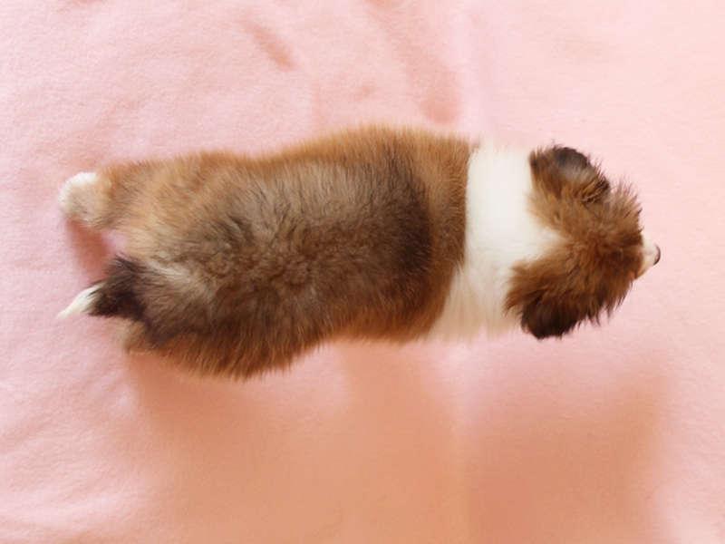 シェットランドシープドッグ(シェルティー)子犬販売情報、背中、ID11416