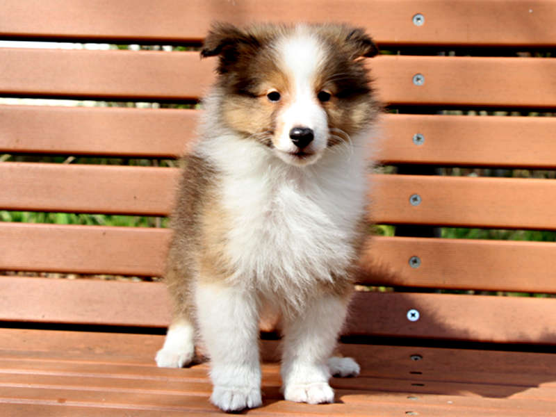 シェットランドシープドッグ(シェルティー)子犬販売情報、正面、ID11428