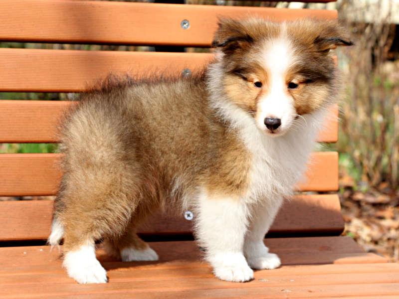 シェットランドシープドッグ(シェルティー)子犬販売情報、右側面、ID11428