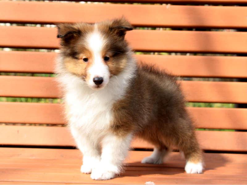 シェットランドシープドッグ(シェルティー)子犬販売情報、左側面、ID11428
