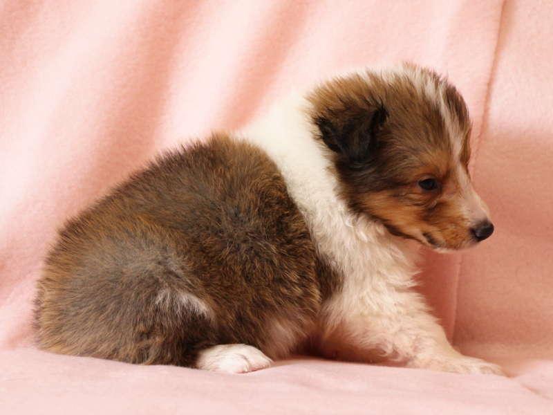 シェットランドシープドッグ(シェルティー)子犬販売情報、右側面、ID11485