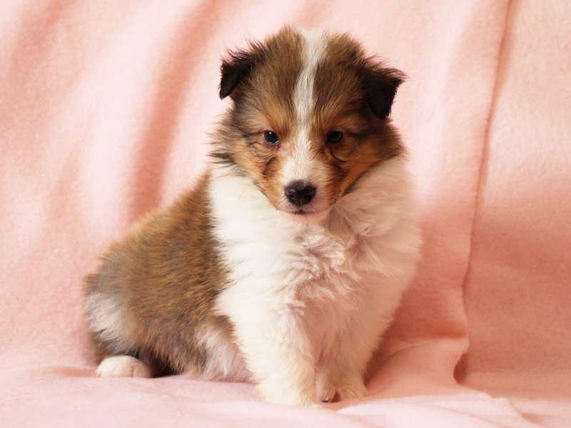 シェットランドシープドッグ(シェルティー)子犬販売情報、おすわり(その2)、ID11485