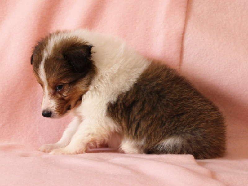 シェットランドシープドッグ(シェルティー)子犬販売情報、左側面、ID11485