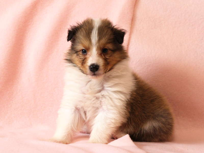 シェットランドシープドッグ(シェルティー)子犬販売情報、おすわり、ID11485