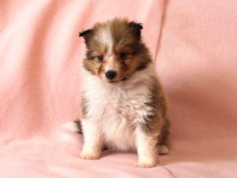 シェットランドシープドッグ(シェルティー)子犬販売情報、おすわり(正面)、ID11486