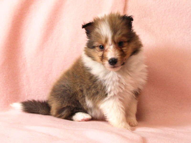 シェットランドシープドッグ(シェルティー)子犬販売情報、おすわり(横向き)、ID11486