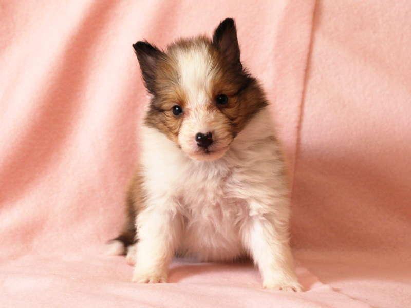 シェットランドシープドッグ(シェルティー)子犬販売情報、おすわり(正面)、ID11487