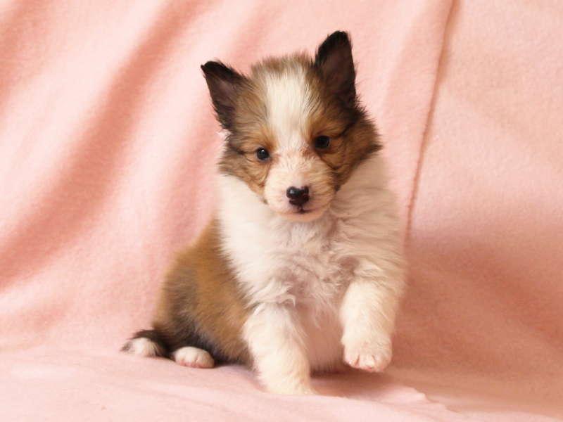 シェットランドシープドッグ(シェルティー)子犬販売情報、おすわり(あんよ)、ID11487