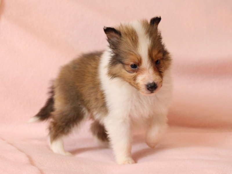 シェットランドシープドッグ(シェルティー)子犬販売情報、あんよ、ID11488