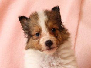 シェットランドシープドッグ(シェルティー)子犬販売情報、お顔、ID11488