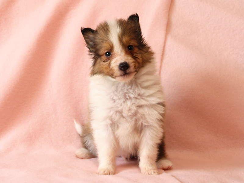 シェットランドシープドッグ(シェルティー)子犬販売情報、おすわり、ID11488