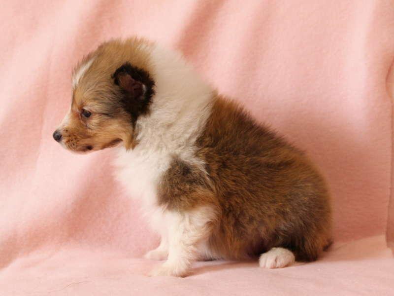 シェットランドシープドッグ(シェルティー)子犬販売情報、左側面、ID11489