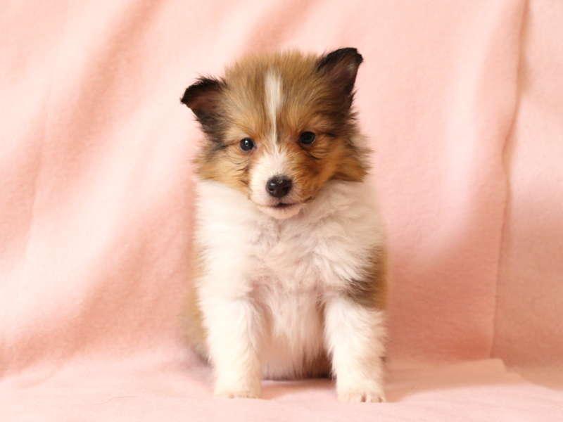 シェットランドシープドッグ(シェルティー)子犬販売情報、おすわり、ID11489