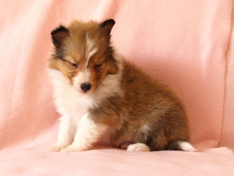 シェットランドシープドッグ(シェルティー)子犬販売情報、おねむ、ID11489