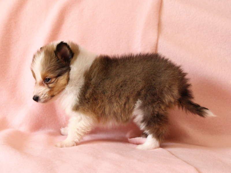 シェットランドシープドッグ(シェルティー)子犬販売情報、左側面、ID11490