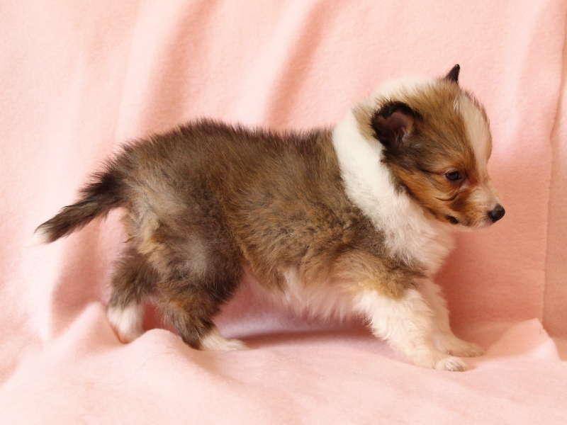シェットランドシープドッグ(シェルティー)子犬販売情報、右側面、ID11490