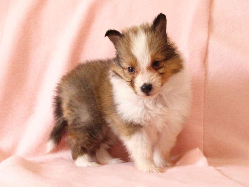 シェットランドシープドッグ(シェルティー)子犬販売情報、立ち姿、ID11490