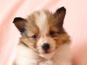 シェットランドシープドッグ(シェルティー)子犬販売情報、お顔、ID11490