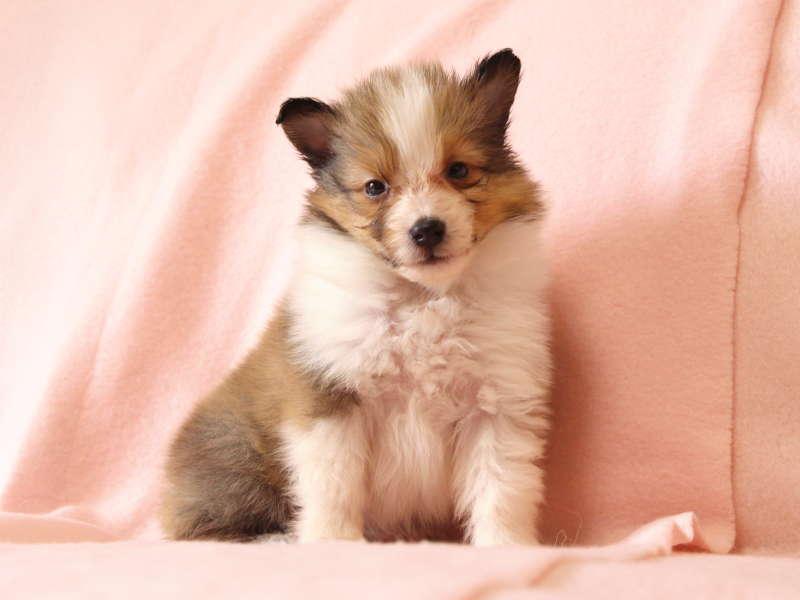 シェットランドシープドッグ(シェルティー)子犬販売情報、おすわり、ID11490
