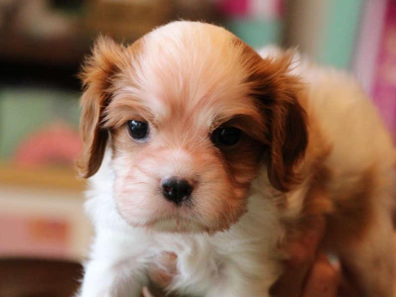 キャバリアキングチャールズスパニエル子犬販売、男の子、ID11638