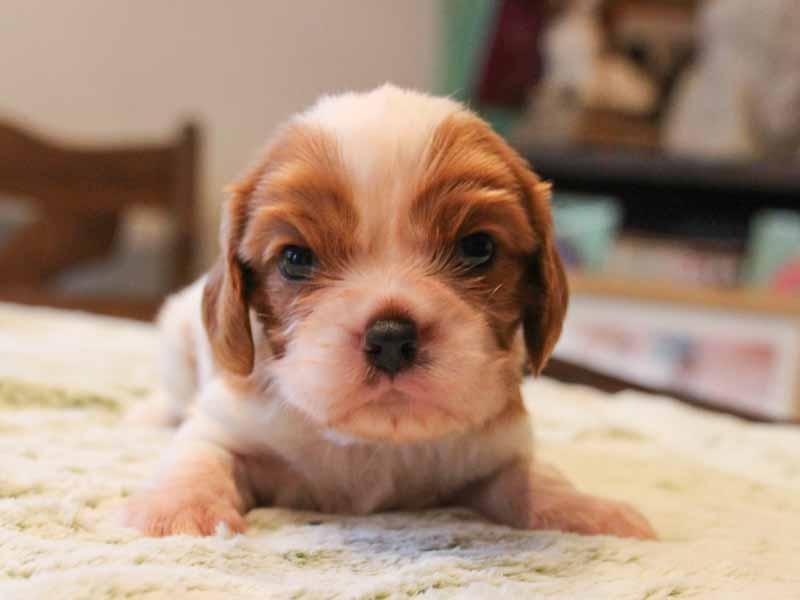 キャバリアキングチャールズスパニエル子犬販売情報、男の子、お顔、ID11698