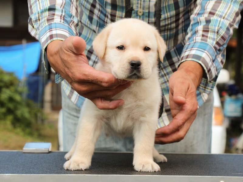 ラブラドールレトリーバー子犬販売、イエロー、男の子、正面、ID11786