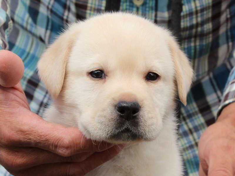 ラブラドールレトリーバー子犬販売、イエロー、男の子、お顔、ID11786