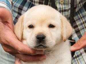 ラブラドールレトリーバー子犬販売、イエロー、男の子、お顔、ID11787
