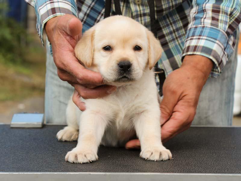 ラブラドールレトリーバー子犬販売、イエロー、男の子、正面、おすわり、ID11787