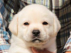 ラブラドールレトリーバー子犬販売、イエロー、男の子、お顔、ID11788