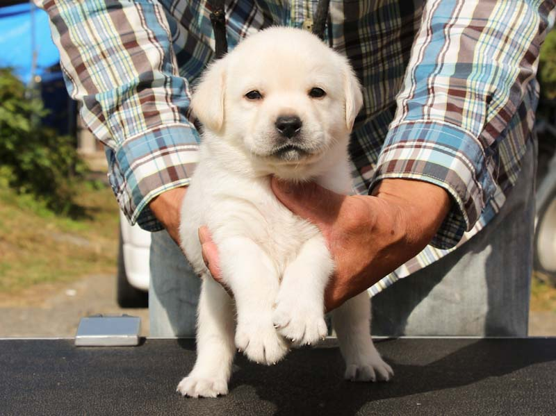 ラブラドールレトリーバー子犬販売、イエロー、男の子、正面、ID11788
