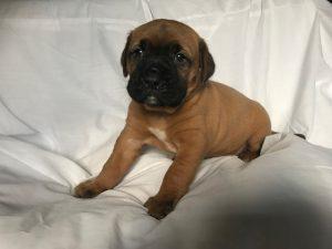 土佐犬子犬、男の子、ID11806