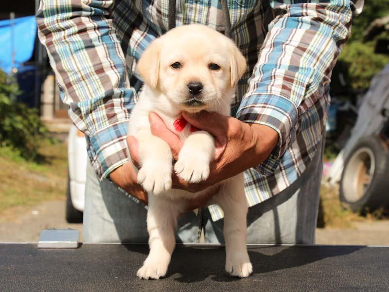 ラブラドールレトリーバー子犬販売、イエロー、女の子、だっこ、ID11789