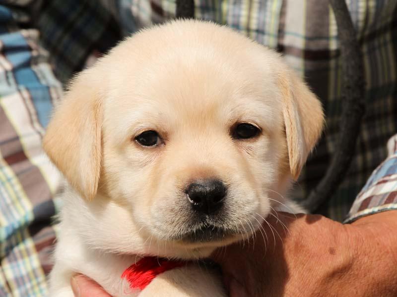 ラブラドールレトリーバー子犬販売、イエロー、女の子、お顔、ID11789