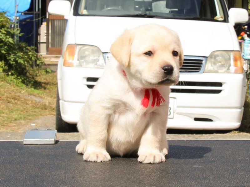 ラブラドールレトリーバー子犬販売、イエロー、女の子、あんよ(連続写真1)、ID11789