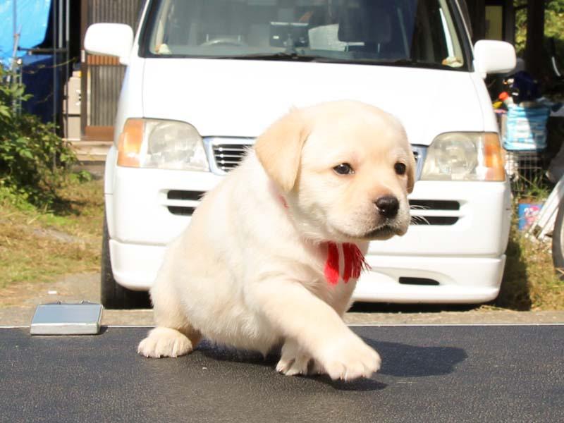 ラブラドールレトリーバー子犬販売、イエロー、女の子、あんよ(連続写真2)、ID11789