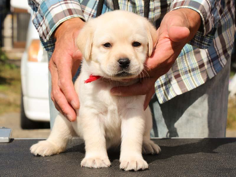 ラブラドールレトリーバー子犬販売、イエロー、女の子、正面、ID11789