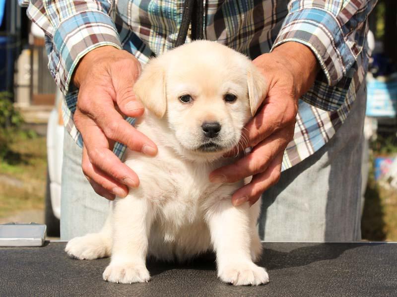 ラブラドールレトリーバー子犬販売、イエロー、女の子、おすわり、ID11791