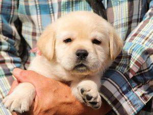 ラブラドールレトリーバー子犬販売、イエロー、女の子、お顔、ID11791