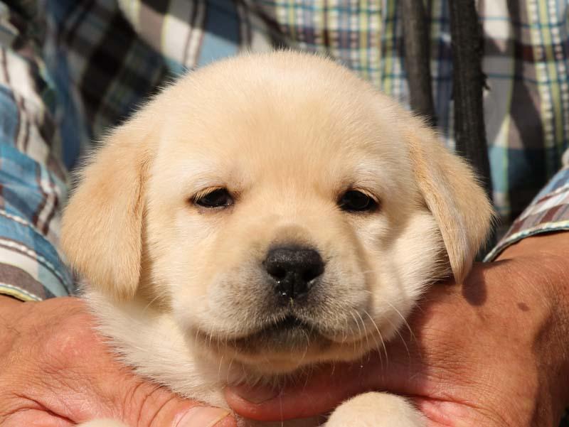 ラブラドールレトリーバー子犬販売、イエロー、女の子、お顔、ID11792