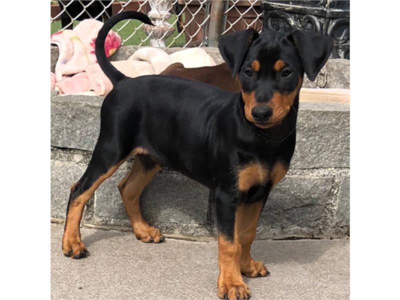 ジャーマンピンシャー子犬販売、男の子、ID11801