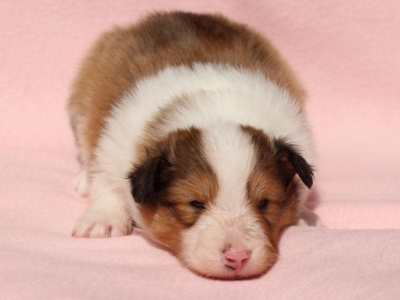シェットランドシープドッグ(シェルティー)子犬販売、男の子、フセ、ID11972