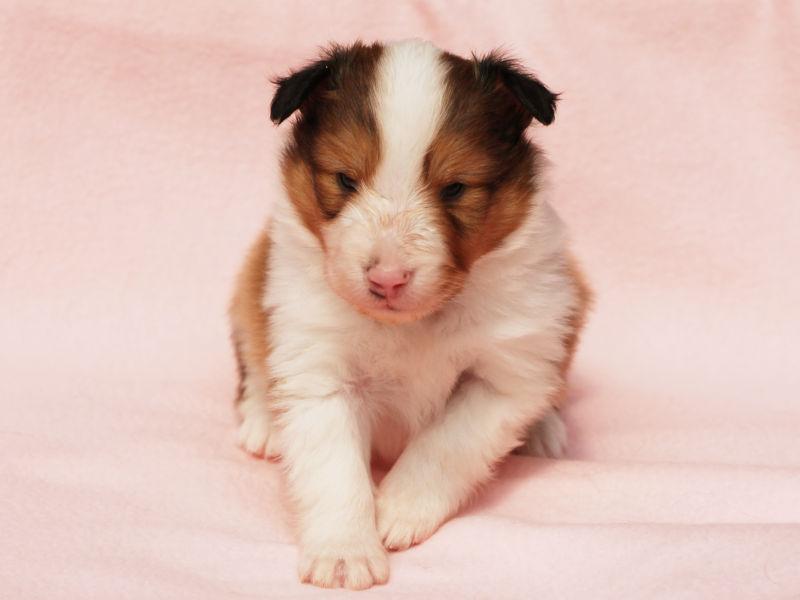 シェットランドシープドッグ(シェルティー)子犬販売、男の子、おすわり、ID11972