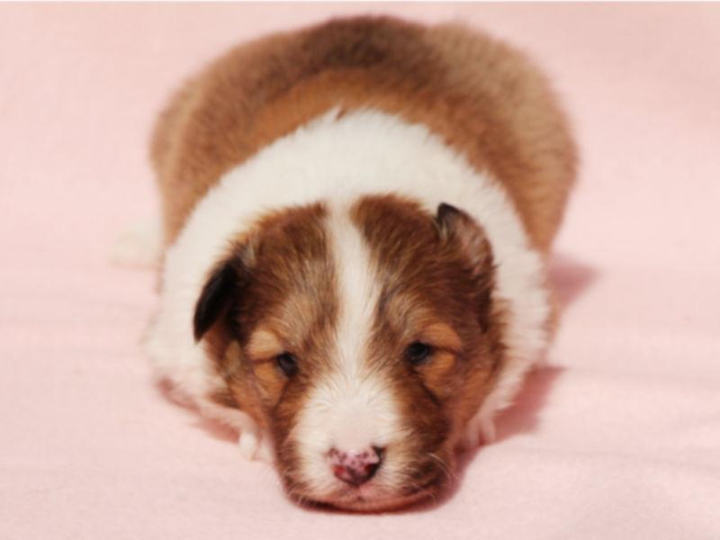 シェットランドシープドッグ(シェルティー)子犬販売、男の子、ふせ、ID11973