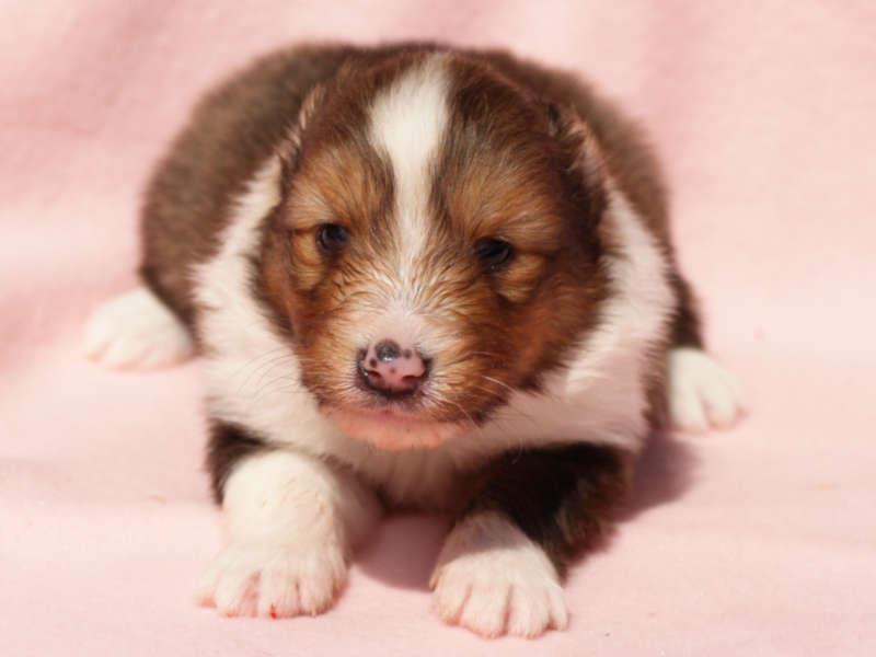 シェットランドシープドッグ(シェルティー)子犬販売、男の子、お顔、ID11975